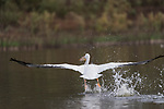 Lake Hodges, Escondido, San Diego, California; an American White Pelican taking flight from the surface of Lake Hodges