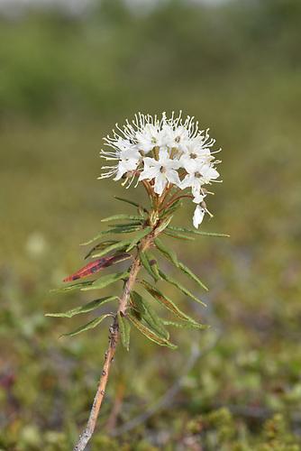 Labrador Tea - Ledum palustre (Rhododendron tomentosum)