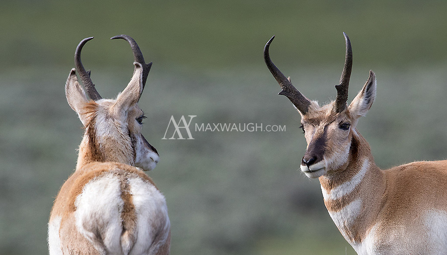 Pronghorns are most often seen from spring to fall in Yellowstone.