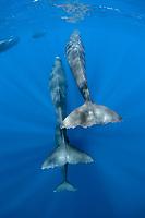 tail of sperm whales, Physeter macrocephalus, Dominica, Caribbean Sea, Atlantic Ocean, photo taken under permit n°RP 16-02/32 FIS-5