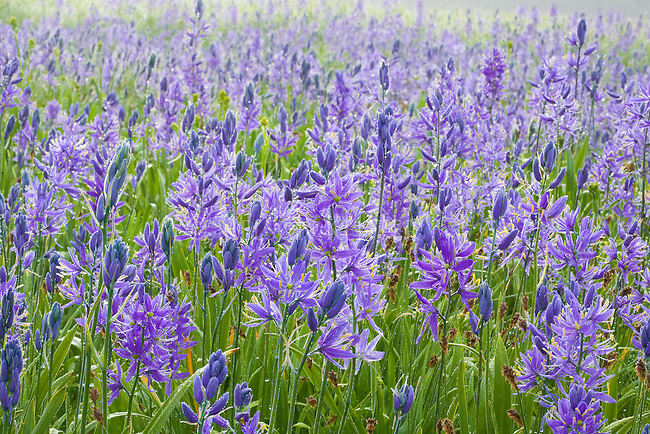 Wild camas flowers growing in open grassy meadows in western Montana