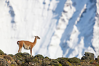 Cooperative Guanaco poses on the edge of a cliff, seemingly content to enjoy the awesome view. Laguna Amarga area, near Torres del Paine National Park, Patagonia, Chile.
