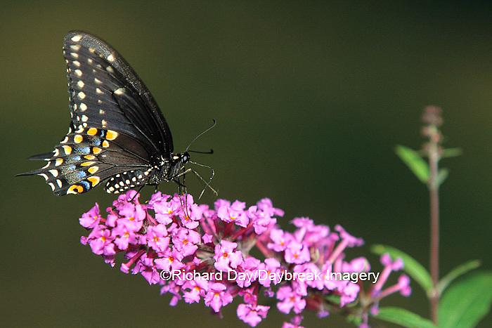 03009-00416 Black Swallowtail, female (Papilio polyxenes) on Butterfly Bush (Buddleia davidii)   IL