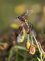 Yellow Meadow Ant - Lasius flavus Queens taking flight