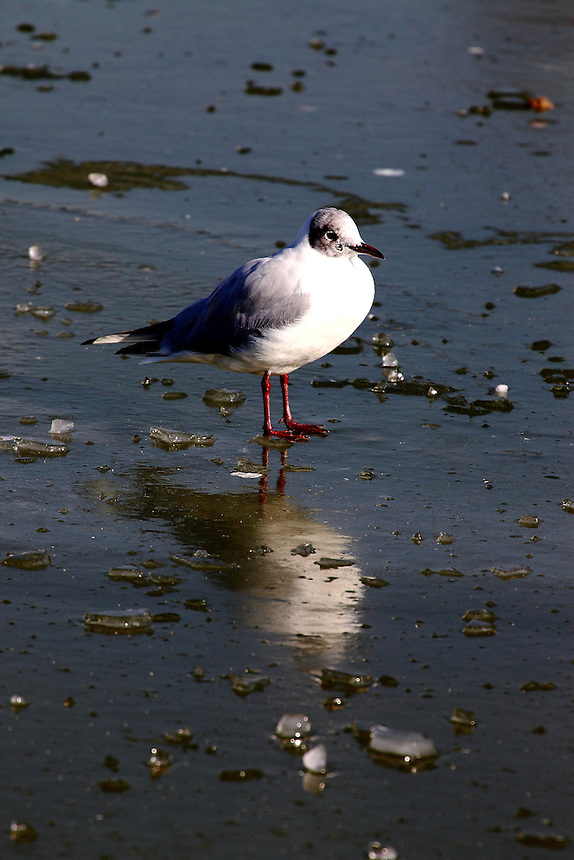 In the centre of Paris, just after the snow: a seagull walking on ice with a beautiful reflected image. Digitally Improved Photo.