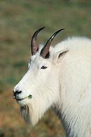 Mountain goat billy (Oreamnos americanus).  Pacific Northwest.  Oct.