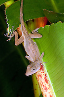 An anole lizard rests on a palm branch in Costa Rica.