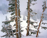 Fir and pines covered in snow in mT Hood national Forest, Oregon