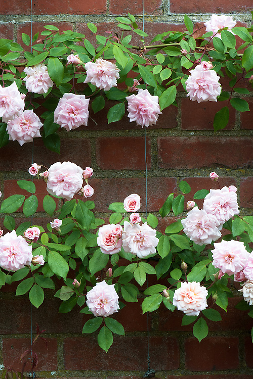 Rosa 'Climbing Cecile Brunner', mid May.