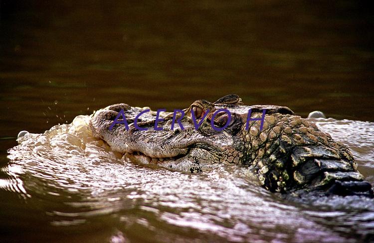 JacarÈ AÁ˙ espÈcio abundante na RDS - Reserva de Desenvolvimento Sustent·vel Mamirau·, no Amazonas entre os rios Solimıes  e Japur·. Instituto coordenado pelo cientista M·rcio Ayres.<br /> Foto Paulo Santos/Interfoto<br /> Amazonas-Brasil<br /> 09/12/2000
