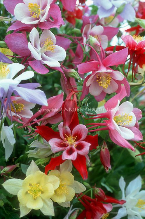 Aquilegia Songbird mixed columbine colors
