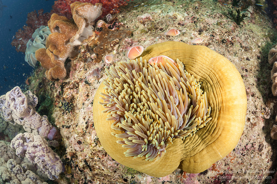 Triton Bay, West Papua, Indonesia; several Pink Anemonefish (Amphiprion perideraion) in a yellow sea anemone