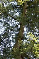 Kanadische Hemlocktanne, Hemlocktanne, Hemlock-Tanne, Kanadische Schierlingstanne, Tsuga canadensis, eastern hemlock, eastern hemlock-spruce, Canadian hemlock, La Pruche du Canada, Pruche de l'Est