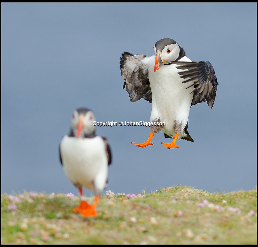 """BNPS.co.uk (01202 558833)<br /> Pic: JohanSiggesson/BNPS<br /> <br /> ***Please Use Full Byline***<br /> <br /> Touchdown....<br /> <br /> Puffin Eck - windy weather leads to tricky landings for Fair isle Puffins.<br /> <br /> The comical acrobatics of a colony of cute puffins has been captured by amateur phoographer Johan Siggesson on a blustery day out to the remote Scottish island.<br /> <br /> The birds aerial dexterity was tested to the limit in the adverse weather, frantically flapping their wings whilst being blown off to the side, others appeared to almost nose dive to the ground.<br /> <br /> Eventually, they came to land on a grassy patch of land but had to keep flailing around to stop themselves being whirled away in the strong gusts.<br /> <br /> Johan, 37, a photographer from Gzira in Malta, said: """"I was on a trip to Fair Isle and I was there for six or seven days just to see the puffins."""