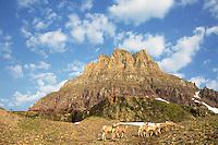 Bighorn Sheep Rams, Mt Clemens, Glacier National Park