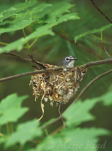 Blue-headed Vireo (Vireo  solitarius), male incubating on nest, Michigan, USA<br /> Slide # B159-421
