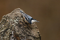 White-breasted Nuthatch (Sitta carolinensis) on tree stump; Michigan
