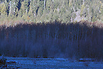White Birches along the Quinault River flowing out of  Lake Quinault  is located in glacial carved, Rain Forest  area of the Quinault  Valley in the Southern Olympic mountains area in Washington's Olympic National Park. Lake Quinault  is a year-round destination. In summer, visitors come for views of the Olympic Mountains, fishing, swimming, and as well as for superb hiking. During the winter months Lake Quinault  still offers hiking and fishing. The weather in the Olympic Mountains Rain Forrest is unpredictable, and visitors should be prepared for snow and rain at any time of year.   Jim Bryant Photo. ©2014. All Rights Reserved.