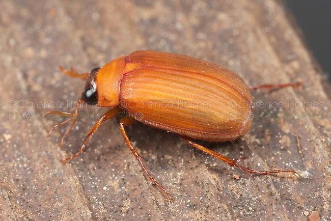 Scarab Beetle (Nipponserica peregrina)