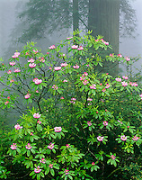 Redwoods National Park, CA<br /> Flowering Rhododendron (R. macrophyllum) and Redwoods (Sequoia sempervirens) in coastal fog - Del Norte Coast Redwoods State Park