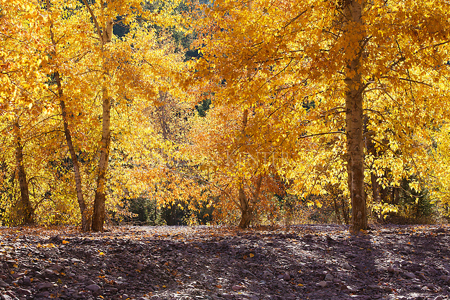 Cottonwood trees in fall color west of Missoula, Montana along the Clark Fork River