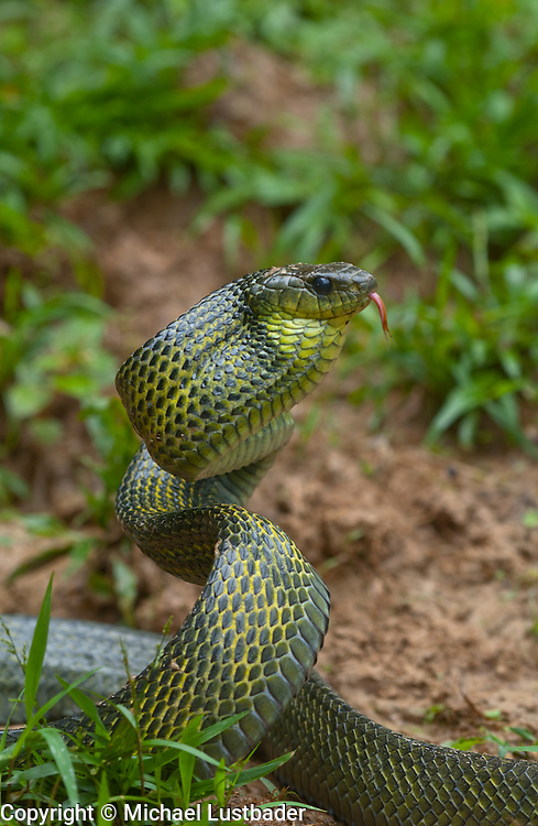 Giant Bird Snake (Pseustes sulphureus sulphureus) in Peruvian Amazon