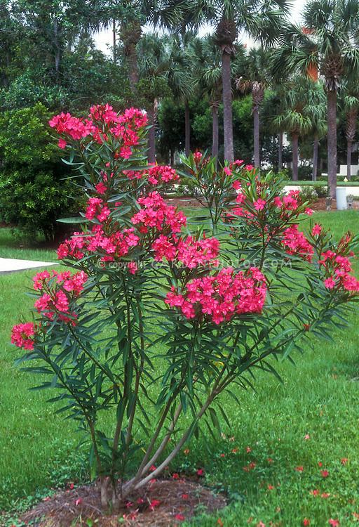 Nerium oleander 'College Beauty'
