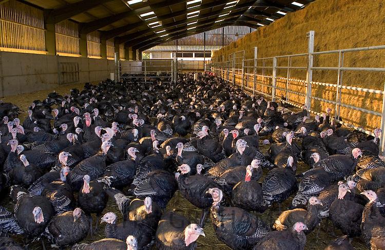 Free-range Norfolk bronze turkeys return to their barn after  roaming at Sheepdrove Organic Farm , Lambourn, England