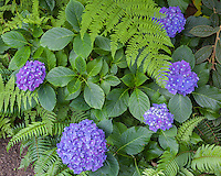 Vashon Island, WA: A detail of blue flowering hydrangea with fern fronds in the Stumpery Garden