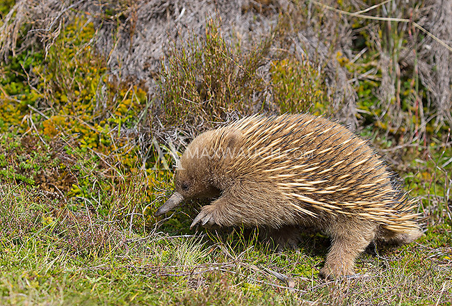 One of the highlights of the trip was spending time with this short-beaked echidna in Tasmania.  The echidna is one of the world's few egg-laying mammals.