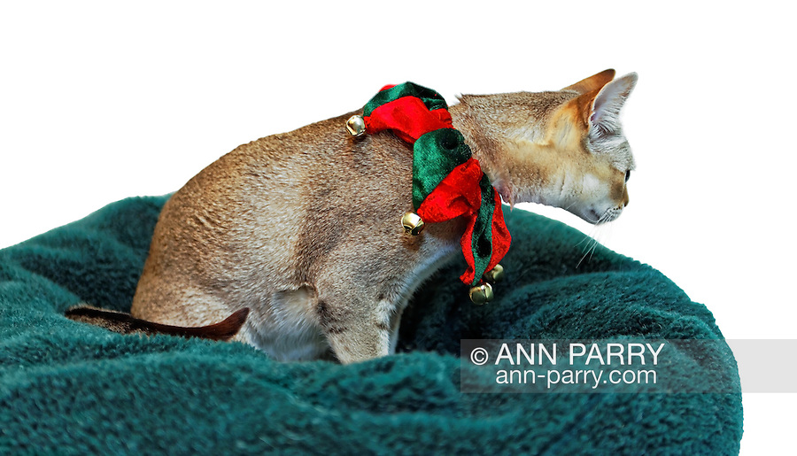 Singapura cat, in red and green Christmas collar with jingle bells, seen from side looking curiously at or for something out of view. Cat sitting in green plush bed. Kitty draws viewer's attending strongly to side. Property release for purebred cat.