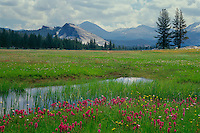Lemmon's paintbrush<br />