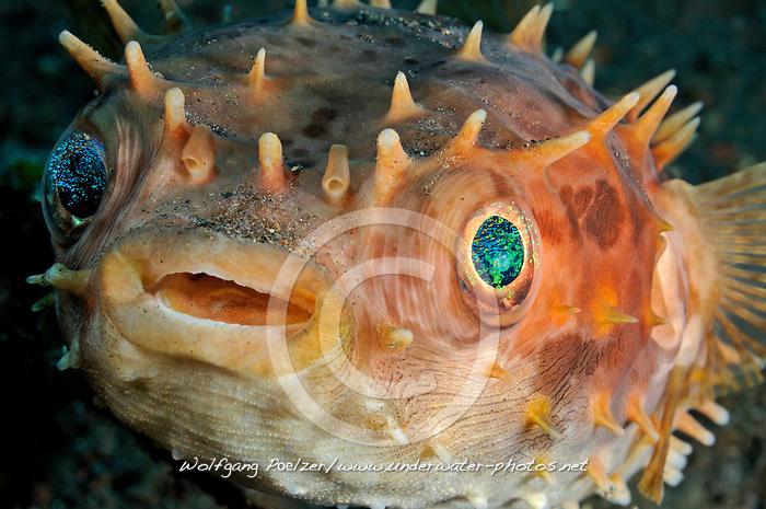 Cyclichthys orbicularis, Grossaugen Igelfisch, Kurzstachel Igelfisch, Birdbeak burrfish, Orbicular Burrfish,  Tulamben, Bali, Indonesien, Indopazifik, Indonesia, Asien, Indo-Pacific Ocean, Asia
