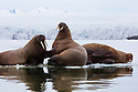 Norway, Svalbard, walruses on fjord ice, Odobenus rosmarus