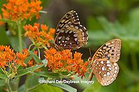 03322-01709 Great Spangled Fritillaries (Speyeria cybele) on Butterfly Milkweek (Asclepias tuberosa) Reynolds Co. MO