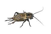 Field Cricket - Gryllus campestris<br /> female