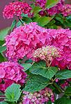 Vashon-Maury Island, WA  Pink blossoms of Hydrangea macrophylla