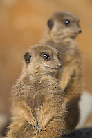 Germany, DEU, Gelsenkirchen, 2006-Nov-16: Two meerkats (suricata suricatta) keeping watch in the Gelsenkirchen zoo.
