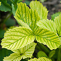 Yellow leaves and visible, skeletal green veins of a strawberry plant with lime-induced chlorosis, a deficiency of iron and manganese.