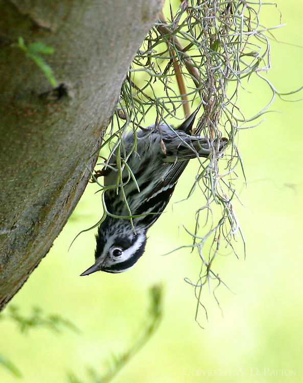 Adult black and white warbler looking for insects in Spanish moss