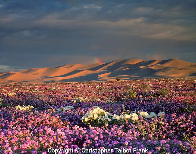 USA, California, Dumont Dunes. A rainbow over Sand Vebena and dune Primrose Wildflowers at surise