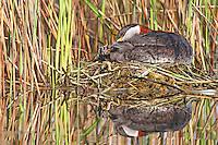 Rothalstaucher, auf dem Nest, brütend, mit Küken, Rothals-Taucher, Podiceps griseigena, red-necked grebe, Le Grèbe jougris
