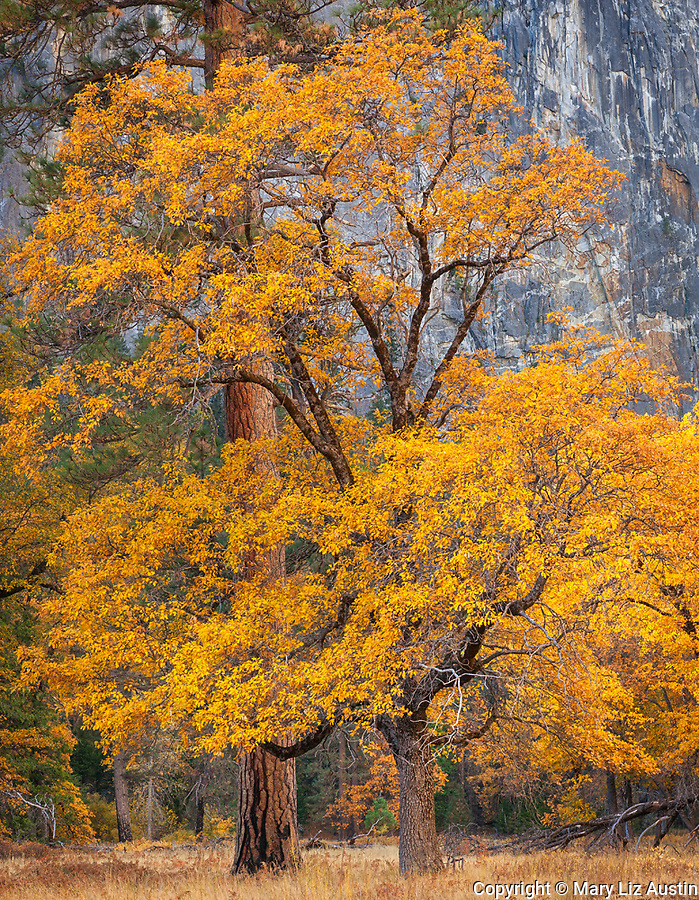 Yosemite National Park, CA: Ponderosa pine (Pinus ponderosa) and black oak (Quercus kelloggii) paired in El Capitan Meadow in the fall, Yosemite Valley
