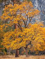 Yosemite National Park, CA: Ponderosa pine (Pinus ponderosa) and black oak (Quercus kelloggii) paired in El Capitan Meadow in the fall, Yosemite Valley