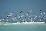 birds ont the beach of enteara island. Goéland de Hemprich.  Larus hemprichii - Sooty Gull.Sterne caspienne Sterna caspia - Caspian Tern.Sterne voyageuse, Sterna bengalensis - Lesser Crested Tern