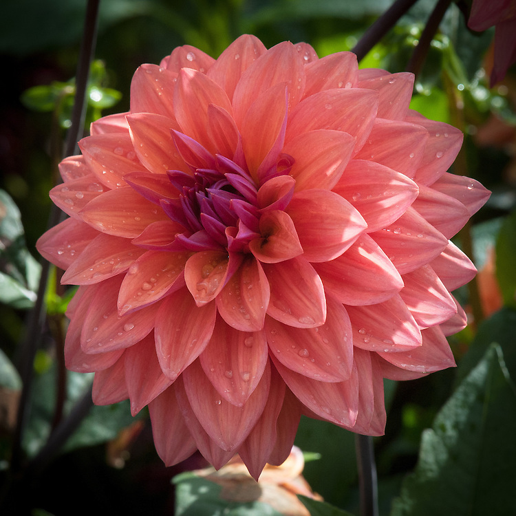 Dahlia 'American Dawn', late September. A Decorative Group dahlia with a coral-apricot colour.