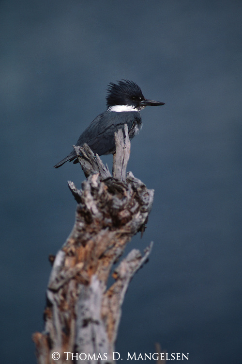 Kingfisher perched on tree stump
