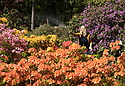 "10/05/17<br /> <br /> After six weeks without significant rainfall Vanessa Brookfield, 39, waters the azalea bed at Lea Gardens. Owner Pete Tye said: ""We're hoping for rain later this week, but if it stays dry we'll have to continue to water by hand which can take our team eight hours each day"".<br /> <br /> <br /> All Rights Reserved F Stop Press Ltd. (0)1773 550665 www.fstoppress.com"