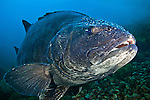 A portrait of the Southern California's giant black sea bass; shot at Catalina Island, California