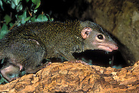 BELANGER'S TREE SHREW (Tupaia belangeri). .Native to China & India.